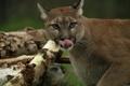 Картинка язык, кошка, морда, пума, горный лев, кугуар