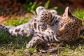 Картинка трава, ягуар, детёныш