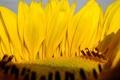 Картинка макро, подсолнух, лепестки, жёлтые