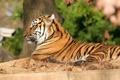 Картинка тигр, отдых, грация, полосатая кошка