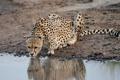 Картинка кошка, камни, гепард, водопой, водоём