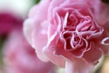 Картинка гвоздика, цветок, лепестки, макро