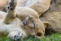 Картинка львёнок, ©Tambako The Jaguar, детёныш, трава, котёнок, игра