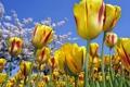 Картинка cielo, rojo, tulipanes, amarillo