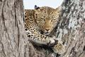 Картинка кошка, зверь, Leopard