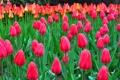 Картинка капли, природа, роса, тюльпаны, клумба, плантация