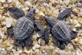 Картинка берег, две, маленькие, ракушки, черепахи