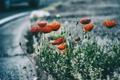 Картинка красный, цветок, лепестки, маки
