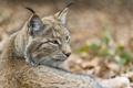 Картинка кошка, морда, рысь, ©Tambako The Jaguar