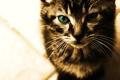Картинка кот, усы, взгляд, кошки, лицо, cats, анфас