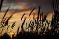Картинка трава, закат, вечер, колоски, силуэт