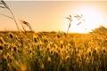 Картинка поле, солнце, макро, фон, widescreen, обои, колоски
