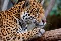 Картинка кошка, хищник, ветка, ягуар