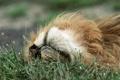 Картинка трава, отдых, релакс, лев, relax, grass, lion