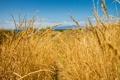 Картинка пшеница, поле, небо, колос, луг, колосья, тронинка