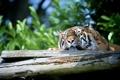 Картинка дикая кошка, сон, морда, отдых, хищник, тигр