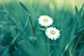 Картинка зелень, лето, трава, макро, цветы, green, ромашки