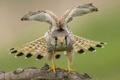 Картинка природа, птица, крылья, ястреб