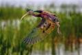 Картинка птица, взлёт, Каравайка
