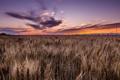 Картинка поле, закат, колосья