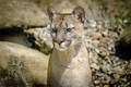 Картинка морда, хищник, пума, дикая кошка, горный лев, кугуар