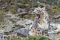 Картинка язык, камни, зевает, ©Tambako The Jaguar, снежный барс, ирбис, кошка