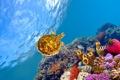 Картинка рыбы, черепаха, underwater, подводный, fishes, рифы, Красное море
