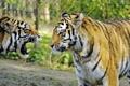 Картинка кошка, тигр, пара, клыки, профиль, амурский