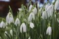 Картинка листья, капли, цветы, природа, роса, весна, подснежники