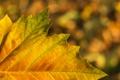 Картинка осень, природа, лист, клен