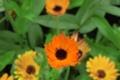 Картинка цветы, обои, оранжевые