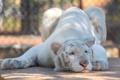 Картинка морда, тигр, поза, отдых, хищник, дикая кошка, зоопарк