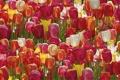 Картинка тюльпаны, бутоны, много