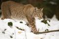 Картинка кошка, снег, ветка, рысь