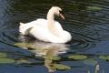 Картинка белый, вода, отражение, птица, лебедь