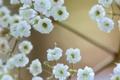 Картинка белые, гипсофила, макро, ветка, цветы, мелкие
