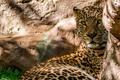 Картинка камни, хищник, леопард