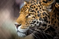 Картинка морда, профиль, большая хищная кошка, ягуар