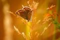 Картинка бабочка, насекомое, колосок, боке
