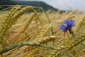 Картинка пшеница, цветок, капли, колосья, злаки