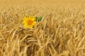Картинка поле, ветер, подсолнух, колосья