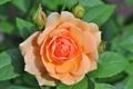 Картинка цветы, роза, лепестки, бутоны, персиковые