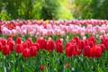Картинка парк, тюльпаны, бутоны