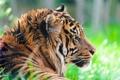 Картинка хищник, Суматранский тигр, Sumatran tiger