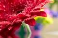 Картинка цветок, вода, flower, water, гербера, gerbera