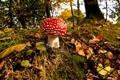 Картинка листья, лес, осень, холм, мухомор, гриб