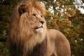 Картинка кошка, взгляд, лев, грива