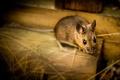 Картинка полевка, мышка, взгляд, портрет