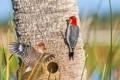 Картинка птицы, дерево, краски, перья, дятел, ствол