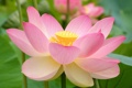 Картинка цветок, природа, лепестки, лотос